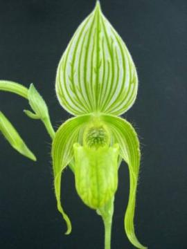 Paph. Happy Philipin ( Albino Form )
